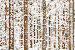 Closeup of Snowy Forest Royalty Free Stock Images