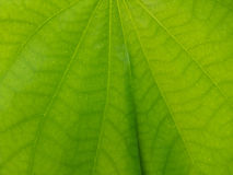 Closeup Snowy Orchid leaf as background Royalty Free Stock Photography