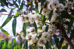 Closeup of  soap mallee  (Eucalyptus diversifolia) plant Stock Images
