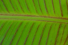 Solf background venation patterns of green leaf. Closeup soft focus background of green leaf texture with brown vein patterns of the green tropical Southeast Stock Photography