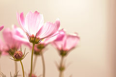 Closeup soft focus on the cosmos flowers Stock Image