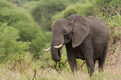 Closeup of a solitary African Elephant Stock Photography