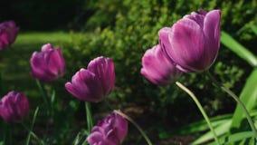 Closeup som glider skottet av rosa tulpan lager videofilmer