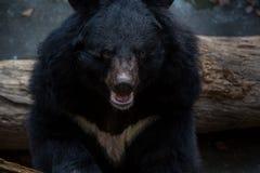 Closeup som ska vändas mot av vuxen människaFormosa en svart björn i skogen på en varm sommar för dag royaltyfria bilder