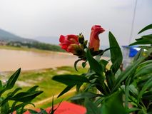 Closeup som skjutas av den orange blomman och floden i bakgrund Flodvattnet är den leriga tack vare floden lastnight arkivfoto