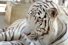 Closeup som skjutas av den vita bengal tigern Arkivbild
