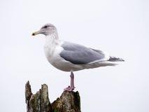 Closeup som skjutas av en seagull Royaltyfri Foto