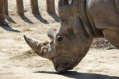 Closeup som skjutas av en vit noshörning Arkivbild