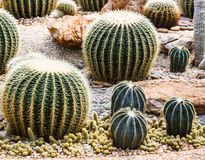 Closeup of some cactus in garden. Closeup of some beautiful cactus in garden Stock Photos