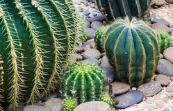 Closeup of some cactus in garden. Closeup of some beautiful cactus in garden Royalty Free Stock Photos