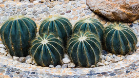 Closeup of some cactus in garden. Closeup of some beautiful cactus in garden Royalty Free Stock Photo