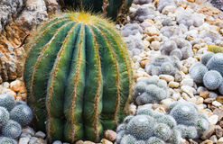 Closeup of some cactus in garden Royalty Free Stock Images