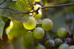Closeup of some chasselas grapes royalty free stock photos