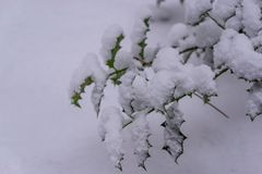 Closeup of some common holly leaves covered in a thick layer of white snow, winter season background royalty free stock photography