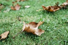 Dry leaves on the green grass. Closeup of some dry leaves on the green grass stock photos