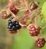 Closeup of some fresh blackberries. In a garden Stock Image