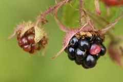 Closeup of some fresh blackberries. In a garden Royalty Free Stock Photography