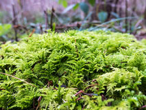 A closeup of some moss. A close-up of bright green moss growing in the forest Stock Photo