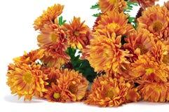 Orange daisies. Closeup of some orange daisies on a white background Royalty Free Stock Photo