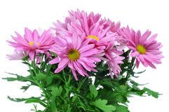 Pink chrysanthemums Stock Photography