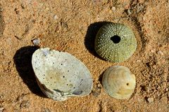 Closeup of some shells and sea urchin skeleton. On a sandy beach Stock Image