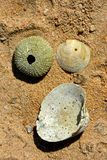 Closeup of some shells and sea urchin skeleton. On a sandy beach Stock Images