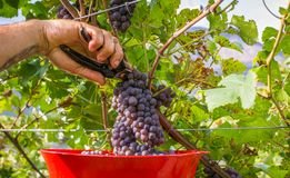 Closeup of someone cutting a grape bunch in a vine during the grape harvest. South Tyrol, Trentino Alto Adige, northern Italy royalty free stock images