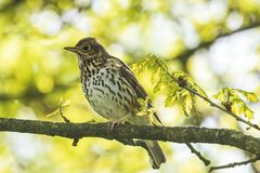 Closeup of a Song thrush Turdus philomelos bird singing in a tre. E during Springtime season Royalty Free Stock Photos