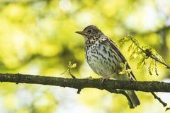 Closeup of a Song thrush Turdus philomelos bird singing in a tre. E during Springtime season stock photos
