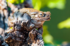 Closeup Of Sonoran Desert Toad On Rock. Closeup of Sonoran Desert toad (Incilius alvarius) on rock Royalty Free Stock Photo