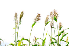 Closeup of a Sorghum bicolor on white,farm.  Stock Images