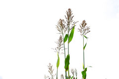 Closeup of a Sorghum bicolor on white,farm.  Royalty Free Stock Photo
