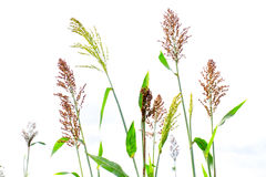 Closeup of a Sorghum bicolor on white,farm.  Royalty Free Stock Image