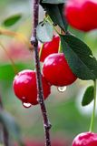 Closeup of sour cherries after the rain Royalty Free Stock Photo