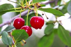 Closeup of sour cherries after the rain Royalty Free Stock Images