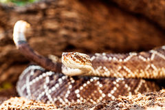 Closeup Of South American Rattlesnake By Rock Royalty Free Stock Images