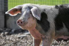 Closeup sow Royalty Free Stock Photo