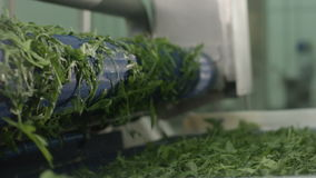 Closeup Special Roll Shakes Green Lettuce on Production Line stock video