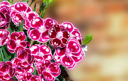Closeup of speckled gillyflowers or sweet williams. Stock Images