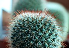 Closeup sphere cactus grown in the pot. a succulent plant with a thick, fleshy stem that typically bears spines. Royalty Free Stock Image