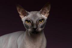 Closeup Sphynx Cat Looking in camera on purple Stock Photo