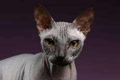 Closeup Sphynx Cat Looking in camera on purple Royalty Free Stock Photos