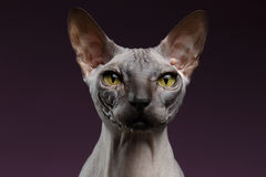 Closeup Sphynx Cat Looking in camera on purple Royalty Free Stock Photography