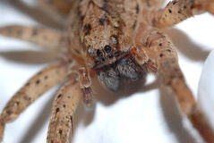 Closeup of spider  Royalty Free Stock Photography