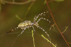 Closeup Spider (argiope lobata) spinning a web among the grass Royalty Free Stock Image