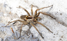 Closeup of a Spider Royalty Free Stock Image