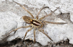 Closeup of a Spider Stock Image