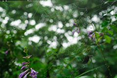 Closeup of spider web Royalty Free Stock Photography