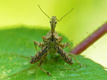 Spiney Assassin Bug On A Leaf. Closeup of a Spiney Assassin Bug on a green leaf background royalty free stock images