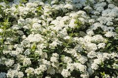 Closeup of a Blooming Spirea Bush in a Garden #2 Royalty Free Stock Photo
